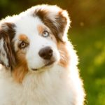 The Uses of CBD Oil for Dogs